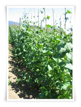 cultivo fabas 2